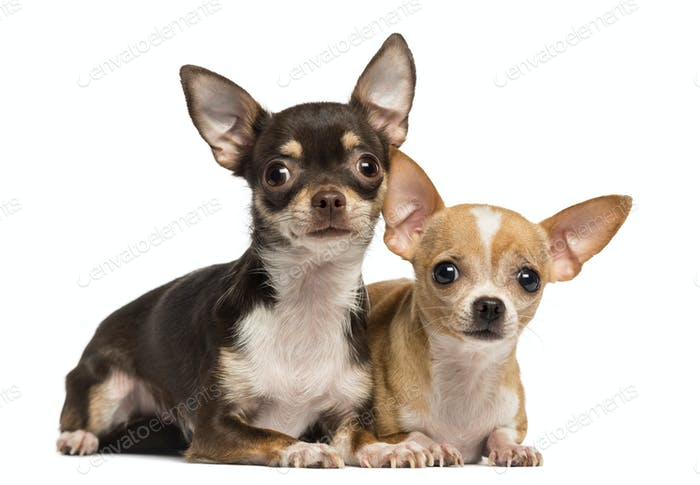 Two Chihuahuas lying next to ecah other, isolated on white