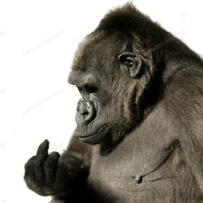 Junger Silberback-Gorilla