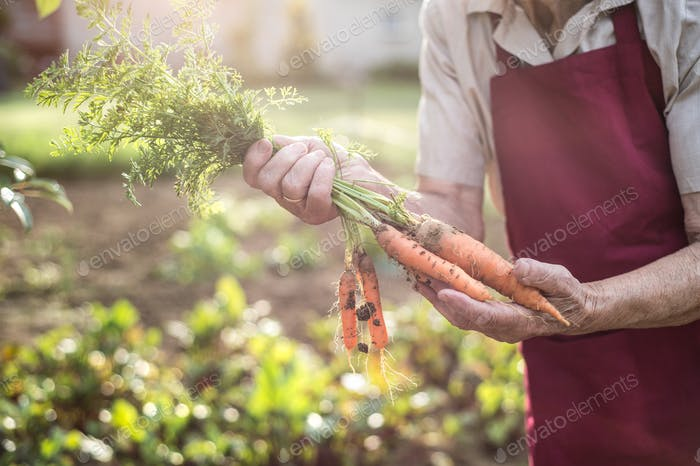 Unrecognizable senior woman in her garden holding carrots