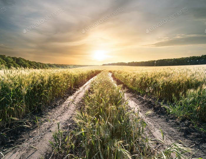 Country road in field with ears of wheat