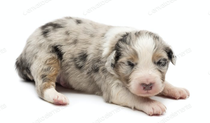 Thumbnail for Australian Shepherd puppy, 14 days old, lying against white background