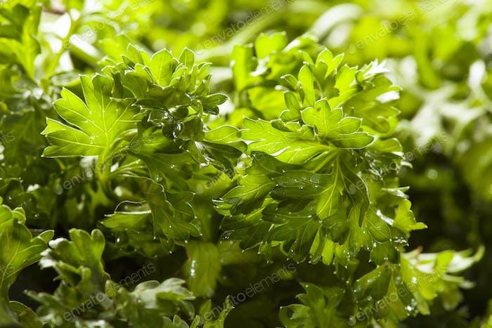 Frische Bio grüne Petersilie
