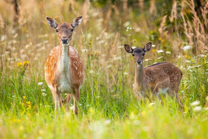 Alert fallow deer hind and fawn facing camera on blooming summer meadow