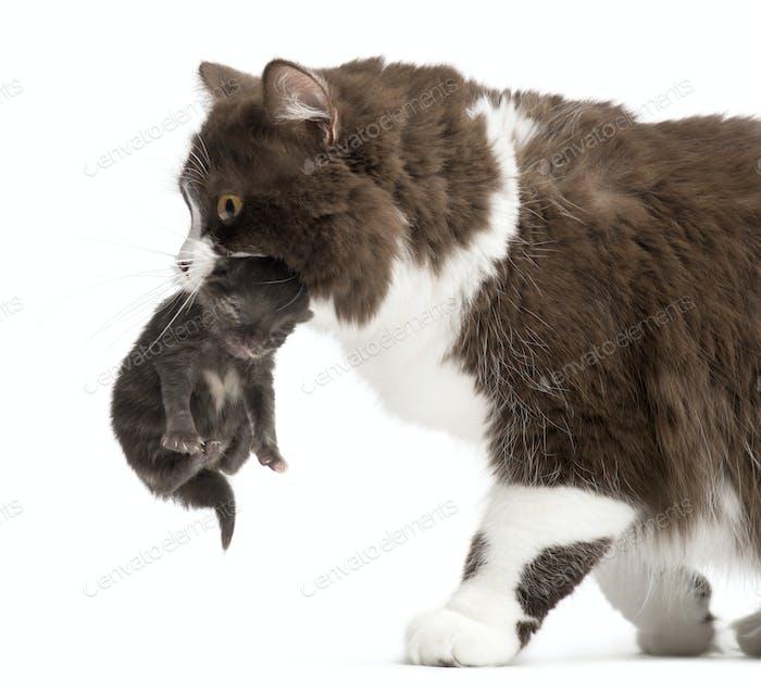 Nahaufnahme eines britischen Langhaars mit einem einwöchigen Kätzchen, isoliert auf weiß