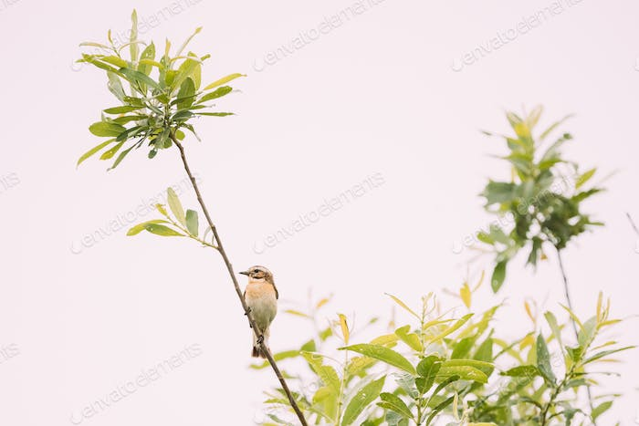 Whinchat - Saxicola Rubetra Is A Small Migratory Passerine Bird Breeding In Europe And Western Asia