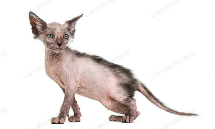 Kitten Lykoi cat, 7 weeks old, also called the Werewolf cat against white background