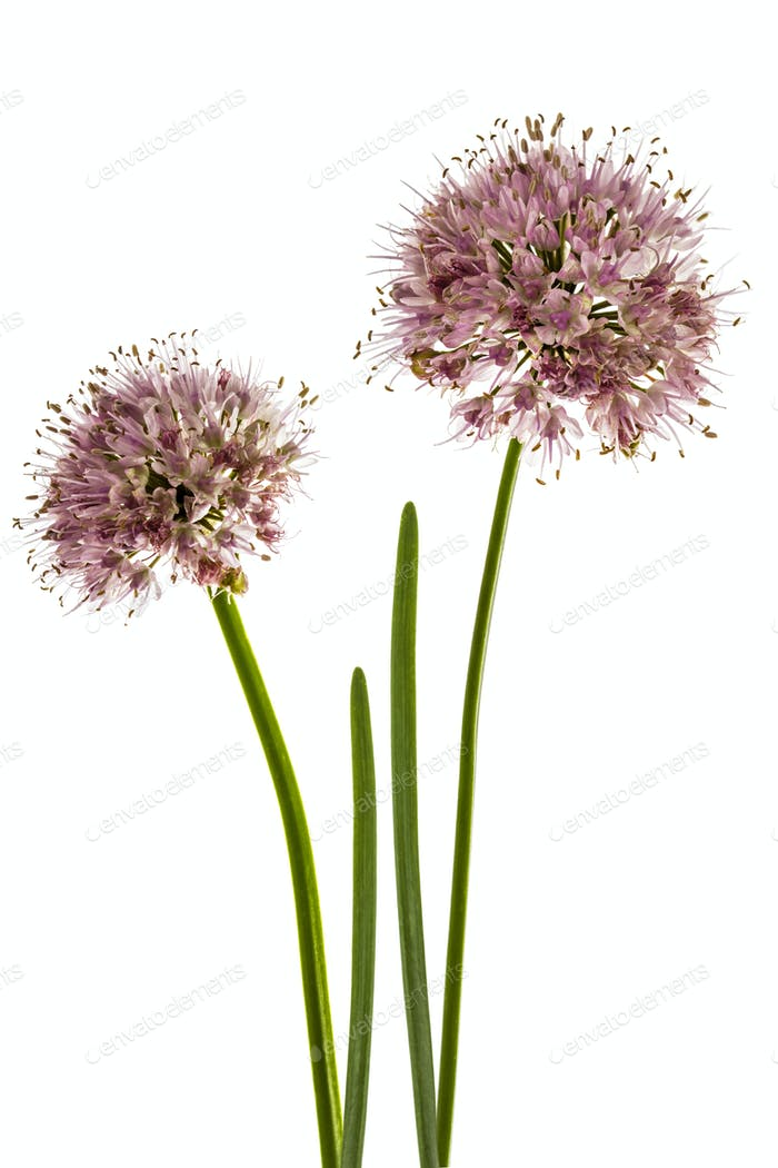Inflorescence  of decorative onion, ornamental allium flowers,