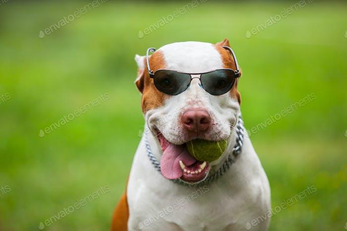 Очаровательны забавные собаки носить солнцезащитные очки