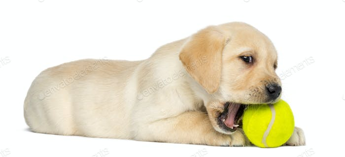Labrador Retriever Puppy, 2 months old, lying and chewing a tennis ball, isolated on white
