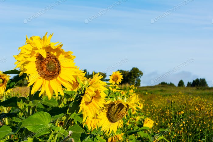 Agricultural land landscape with yellow sunflowers