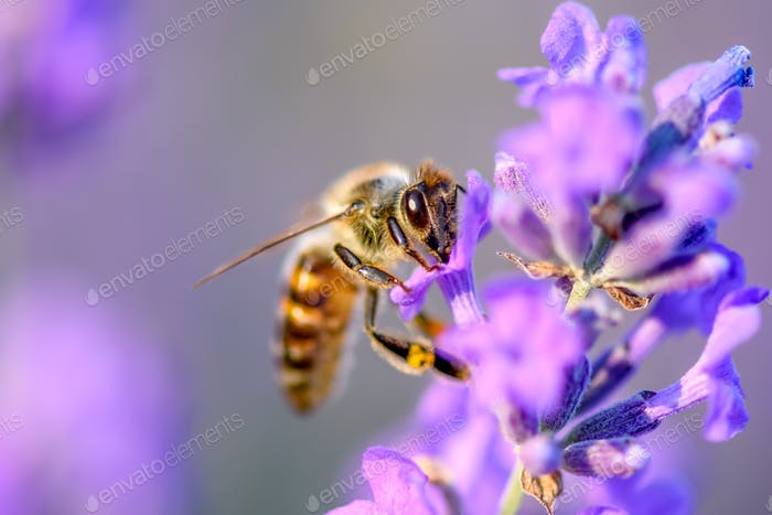 Bee pollinates the lavender flowers. Plant decay with insects