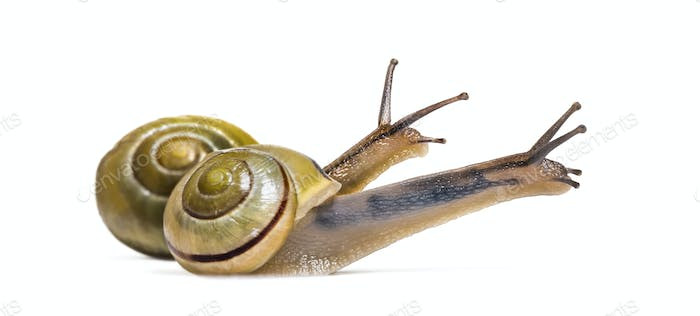 grove snails or brown-lipped snails, Cepaea nemoralis, in front of white background