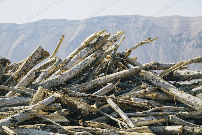 Pile of discarded cottonwood trees