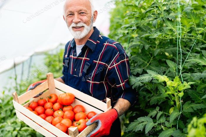 Freundlicher reifer Bauer bei der Arbeit im Gewächshaus