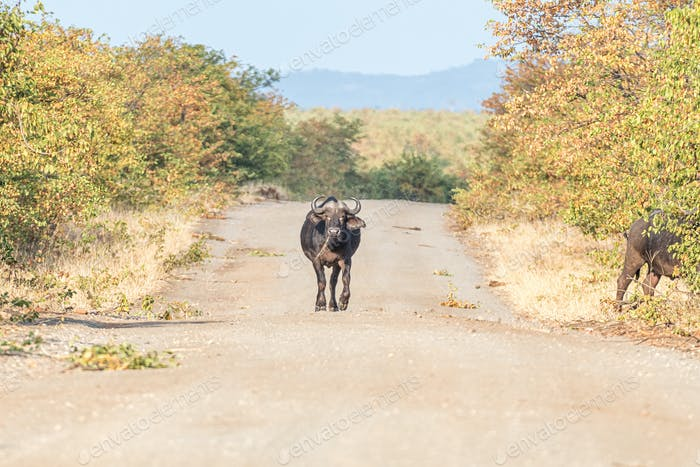 Cape buffalo walking on a gravel road towartds the camera