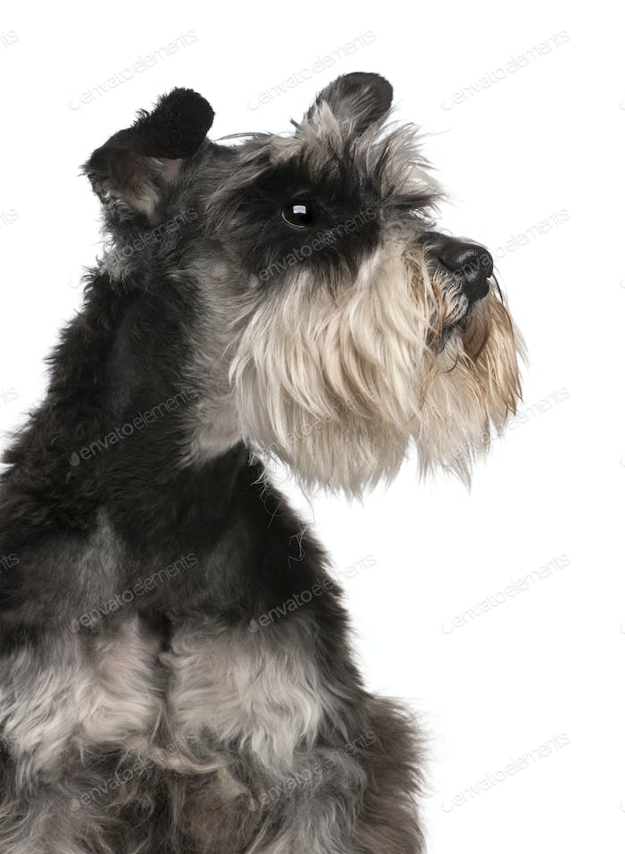 Close-up of Miniature Schnauzer, 6 years old, in front of white background