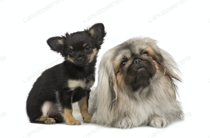 a Pekingese and a chihuahua