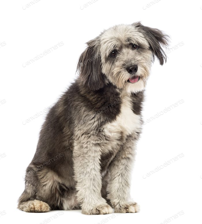 Crossbreed, 4 years old, sitting and looking at the camera in front of white background