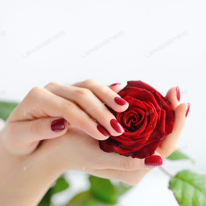 Hands of a woman with dark red manicure with red rose on white b