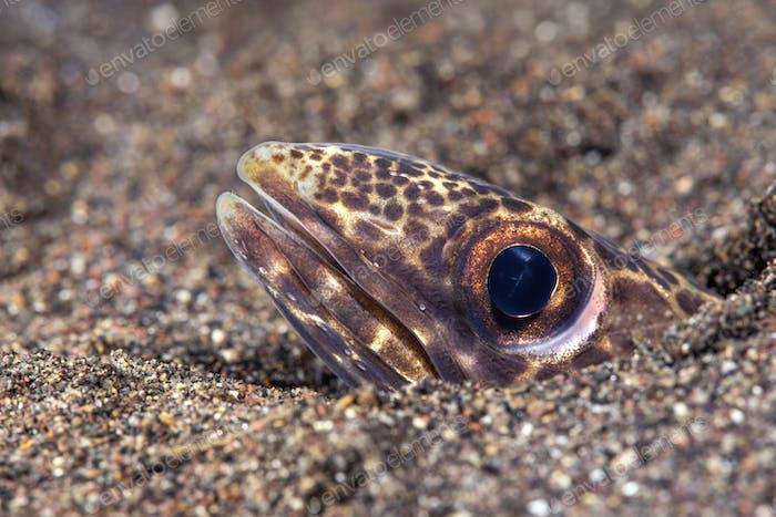 Snake eel peeking out of its burrow