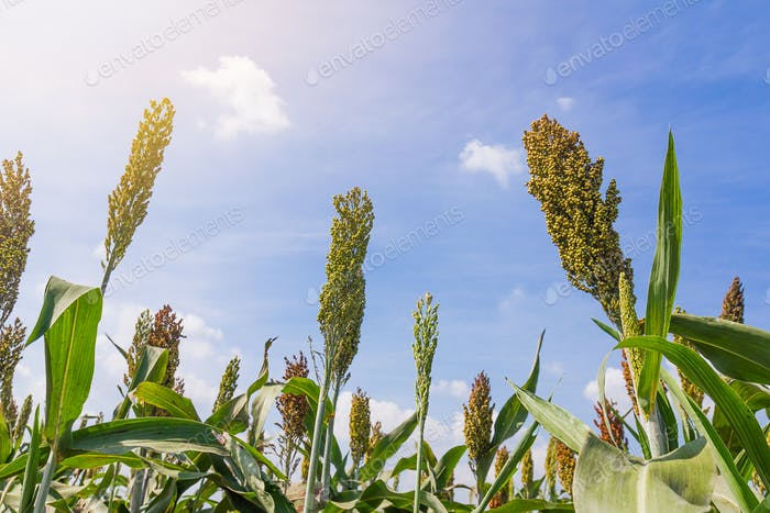 Millet field with blue sky-3.