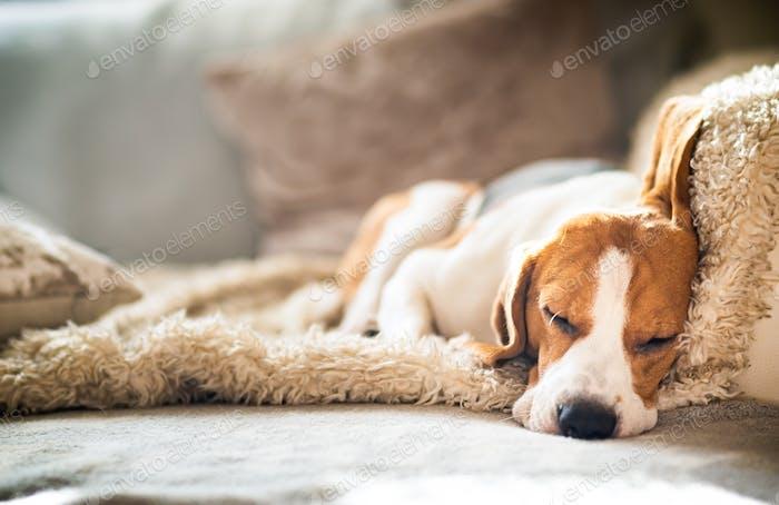 Beagle Hund müde schläft auf einem gemütlichen Sofa in lustiger Position