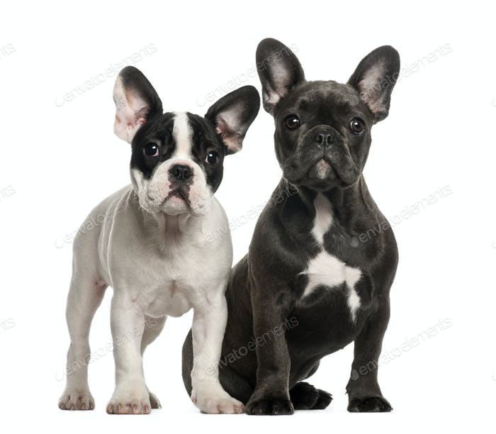 French bulldog puppies, 4 months old, sitting against white background