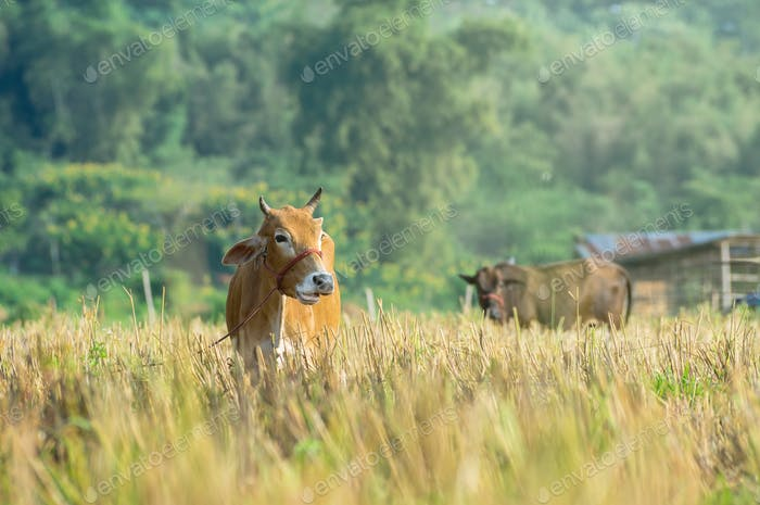Closeup Brown Cow in the field, worm color tone, livestock industrial concept