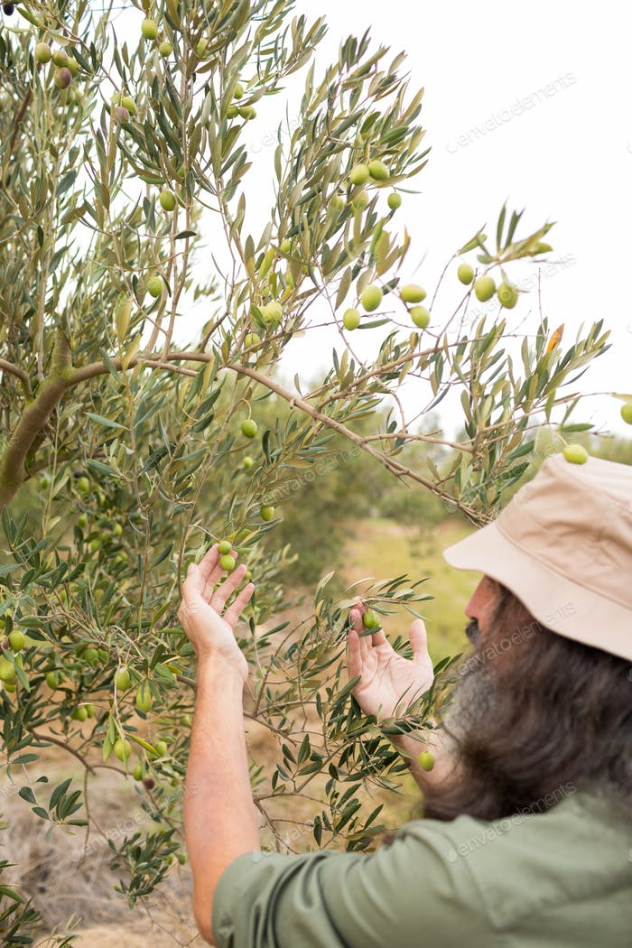 Man observing olives on plant