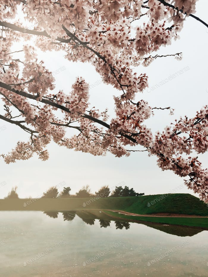 Cherry blossom tree and a lake