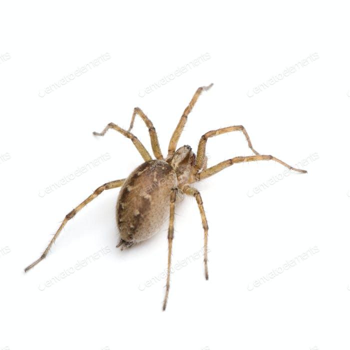 Barn funnel weaver spider- Tegenaria domestica