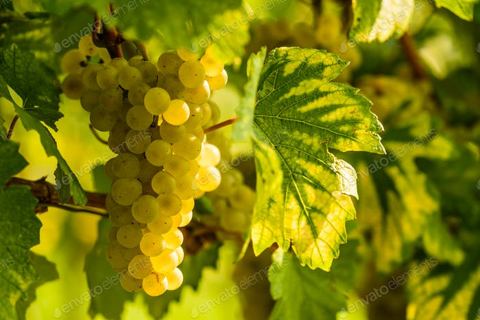 White grape in a vineyard during autumn