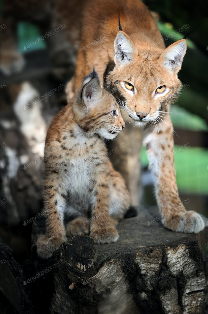 Baby Eurasian Lynx in the forest