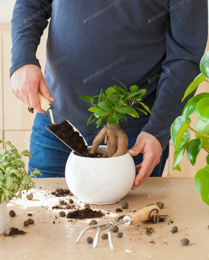 Gartenarbeit, Pflanzung zu Hause. Mann Umzug Ficus Zimmerpflanze