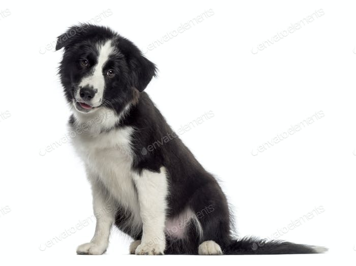 Border Collie puppy sitting (4 months old)