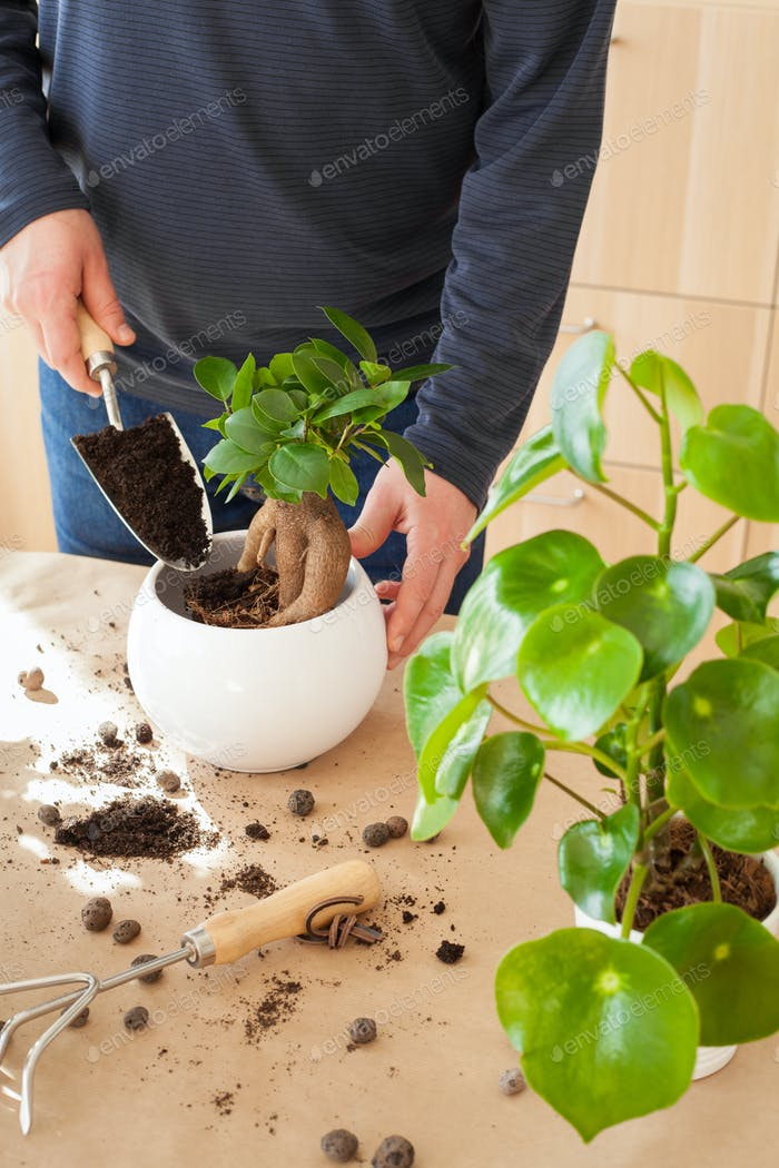 gardening, planting at home. man relocating ficus houseplant