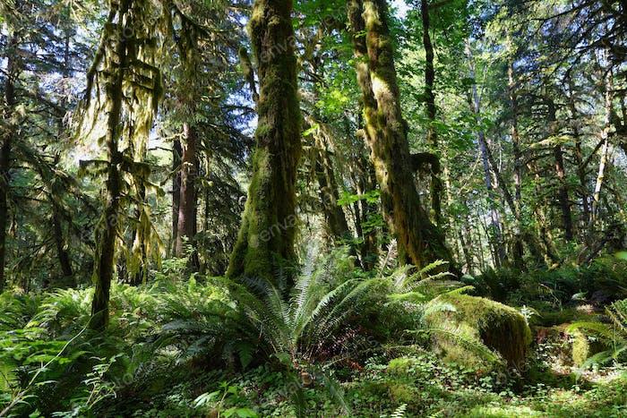 Quinault-Wald