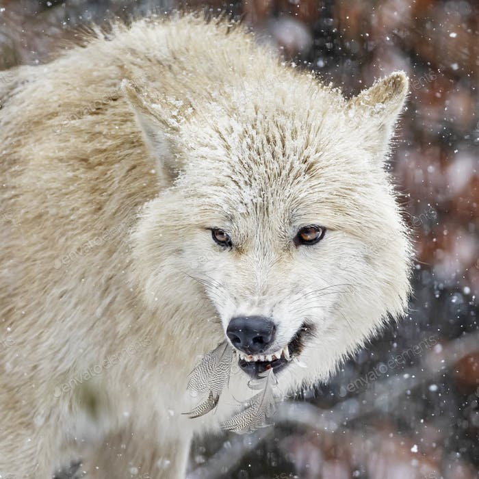 side view of wild wolf animal showing teeth in natural habitat in winter