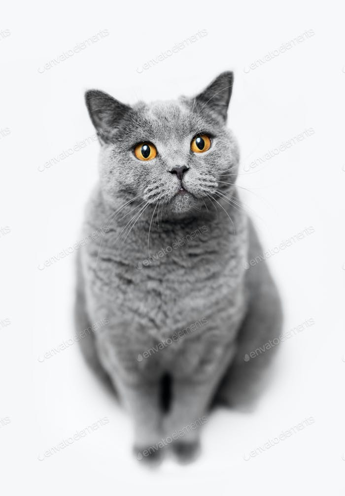 flauschige graue Katze sitzt auf weißem Hintergrund