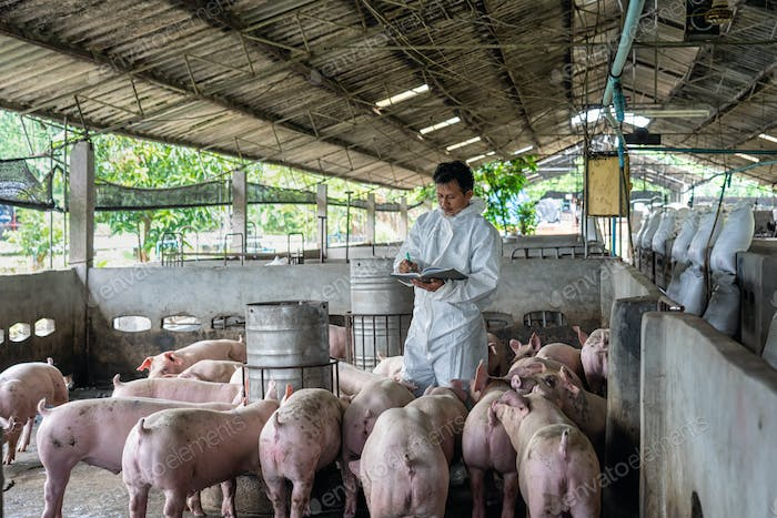 Asian veterinarian working and checking the pig in hog farms, animal and pigs farm industry