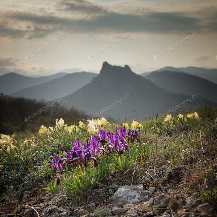 Wilde Blumen iris vor dem Hintergrund der Berggipfel.
