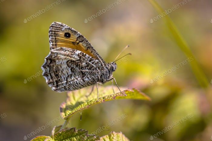 Rock grayling butterfly