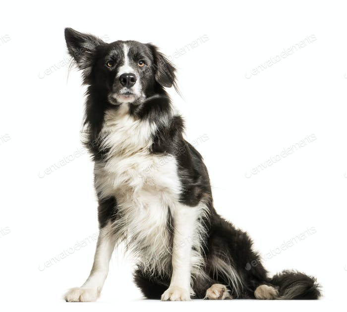 Black and white Border collie Dog sitting in front of the camera, cut out