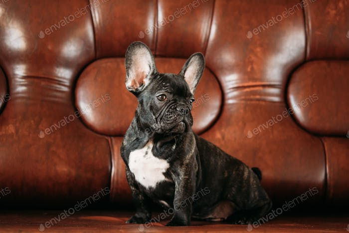 Young Black French Bulldog Dog Puppy With White Spot Sit On Red