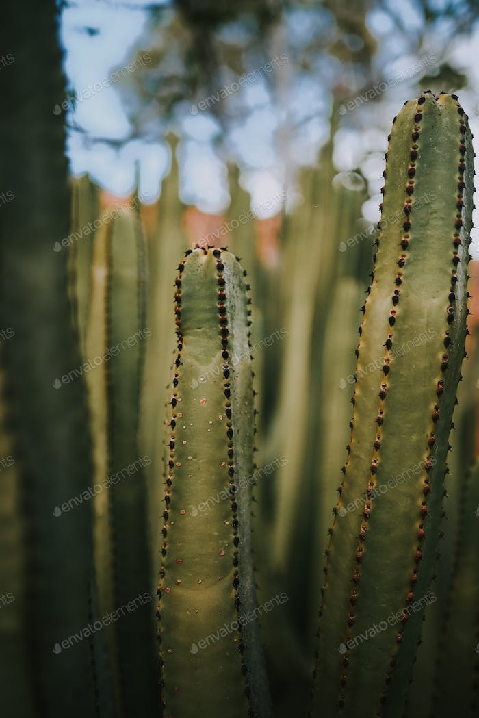 detail of a green cactus with more of them on the background