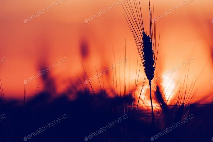 Silhouette von Weizenohren bei Sonnenuntergang