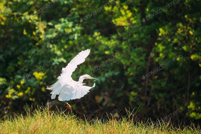 Goa, India. White Little Egret Landing On Grass