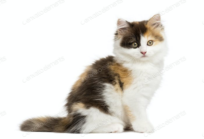 Side view of an Higland straight kitten sitting, looking at the camera, isolated on white