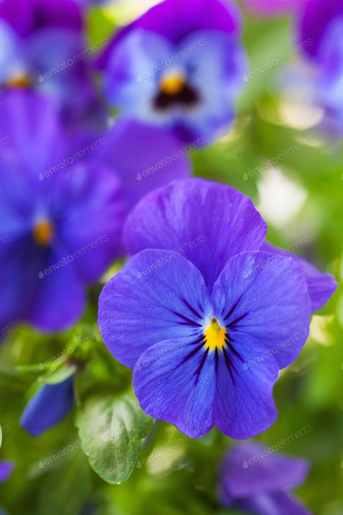 beautiful pansy summer flowers in garden