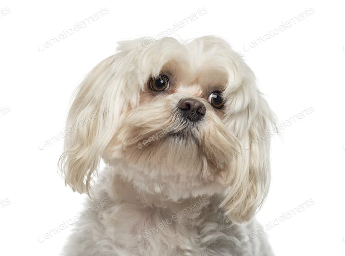 Close-up of a Maltese (6 years old)